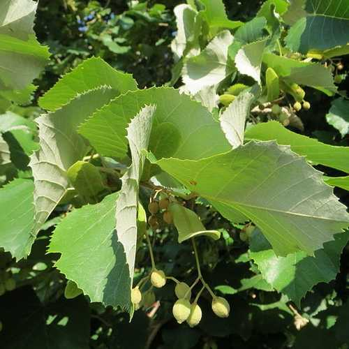 Tilia petiolaris - Weeping Lime - Future Forests