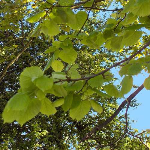 Tilia platyphyllos - Large Leaved Lime - Future Forests