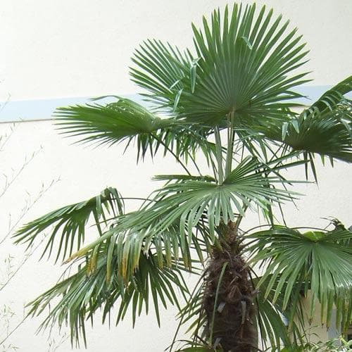 Trachycarpus fortuneii - Future Forests