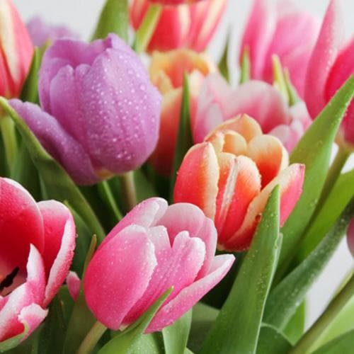 Tulip Apollo - Mixed varieties - Future Forests