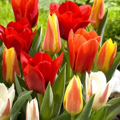 Tulip Mixed Dwarf Varieties - Future Forests
