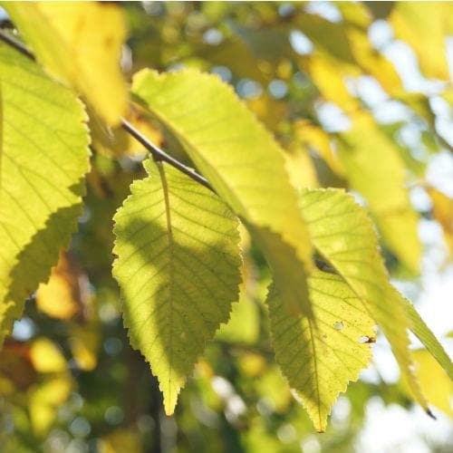 Ulmus Sapporo Autumn Gold - Future Forests