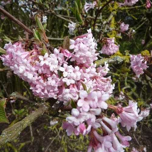 Viburnum x bodnantense 'Dawn' - Future Forests