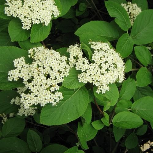 Viburnum lantana - Future Forests