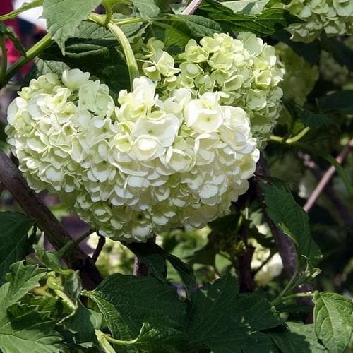 Viburnum opulus Roseum - Future Forests