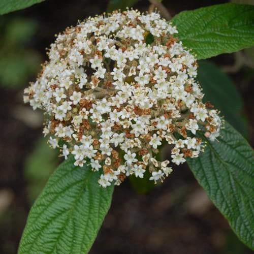 Viburnum rhyditophyllum Willowood - Future Forests