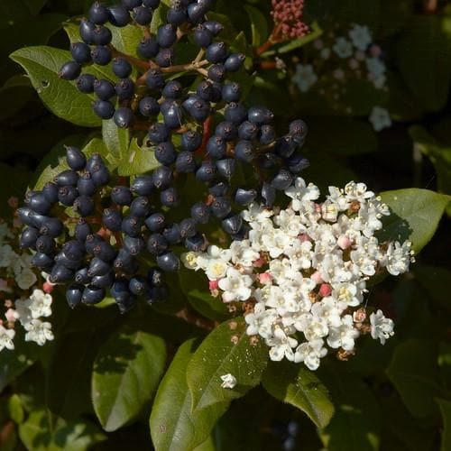 Viburnum tinus - Future Forests