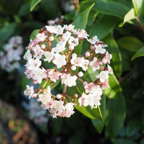 Viburnum tinus Lisa Rose - Future Forests