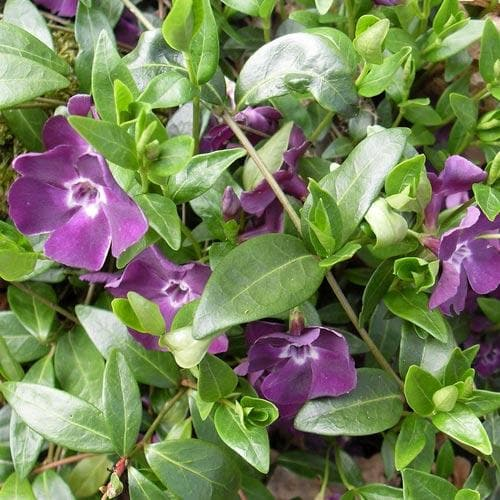 Vinca minor Atropurpurea