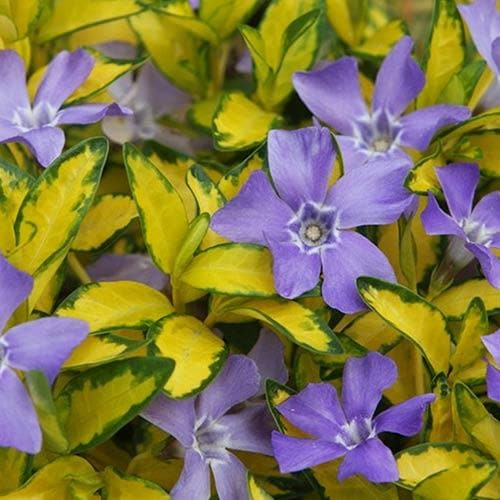 Vinca minor Illumination