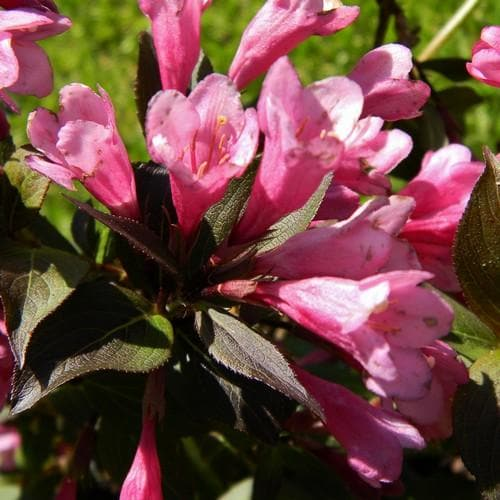 Weigela florida Victoria - Future Forests