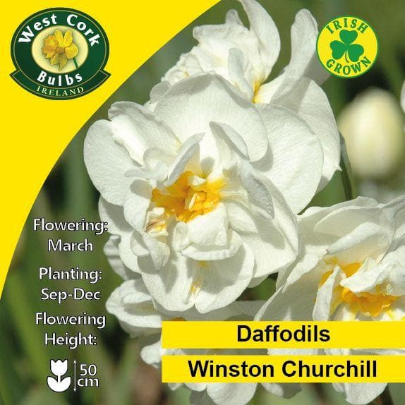 Daffodil Winston Churchill - Future Forests