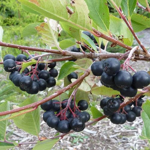 Aronia melanocarpa - Future Forests