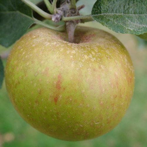 Apple Ashmead's Kernel - Future Forests