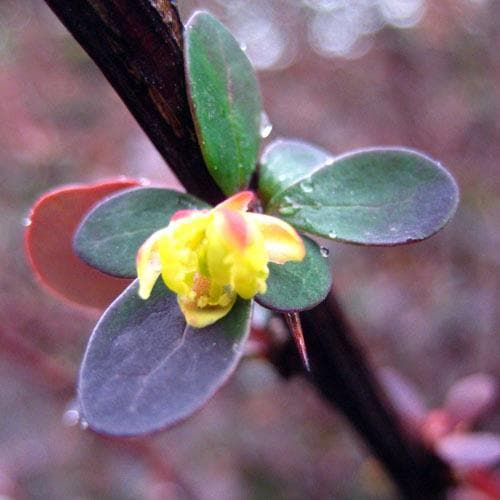 Berberis thunbergii - Future Forests