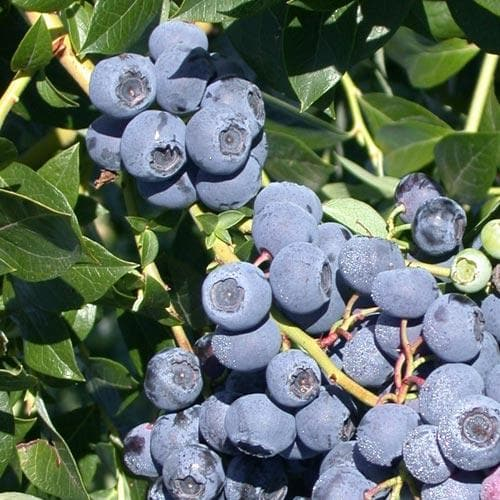 Blueberry Patriot - Future Forests
