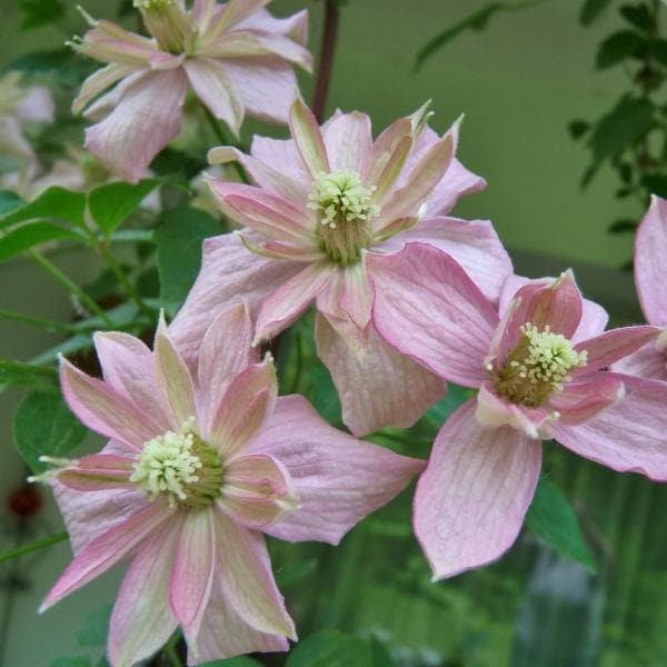 Clematis montana Broughton Star - Future Forests
