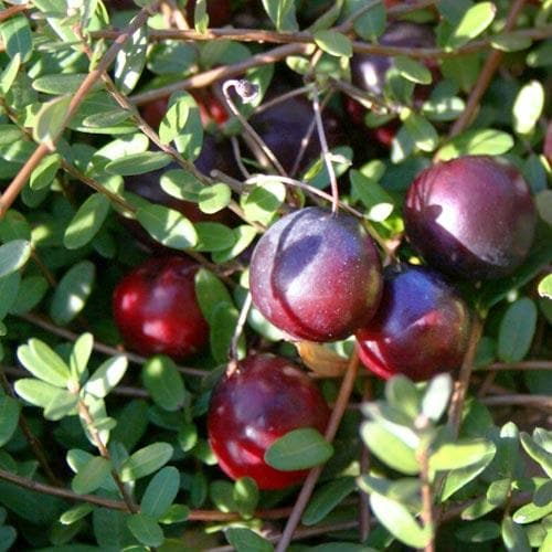 Cranberry Early Black - Future Forests