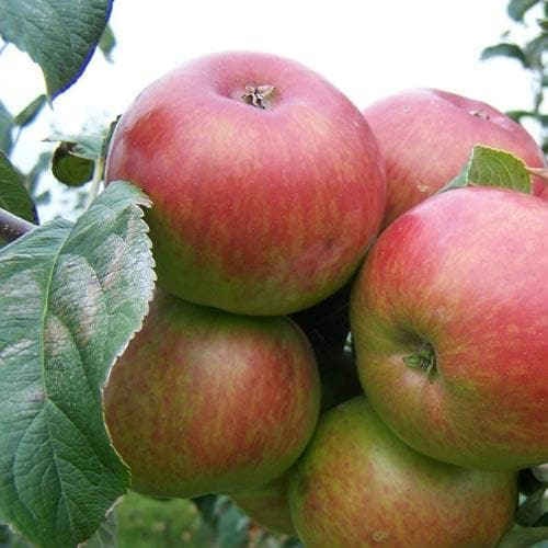 Apple Crawley Beauty - Future Forests