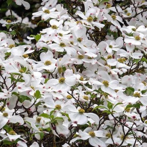 Cornus Eddie's White Wonder - Future Forests