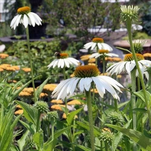Echinacea purpurea White Swan - Future Forests