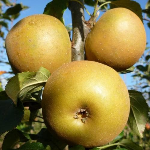 Apple Egremont Russet - Future Forests
