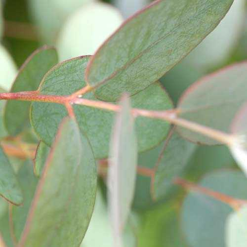 Eucalyptus gunnii - Future Forests