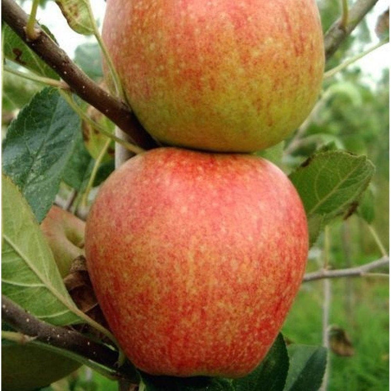 Apple Red Falstaff - Future Forests