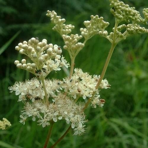 Filipendula ulmaria - Future Forests