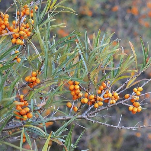 Sea Buckthorn Askola (Female) - Future Forests