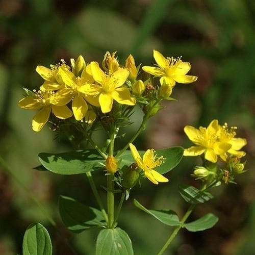 Hypericum tetrapterum - Future Forests