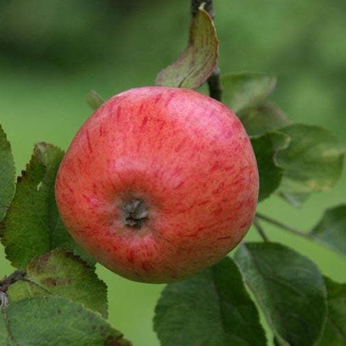 Apple Irish Peach - Future Forests