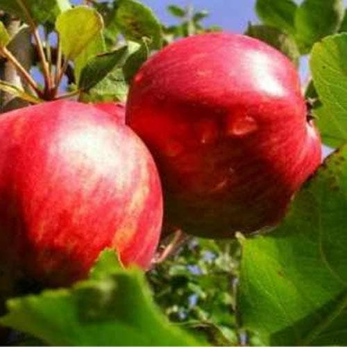 Apple Lough Tree of Wexford - Future Forests