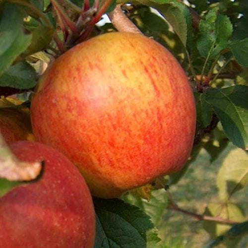 Apple Rubinette - Future Forests