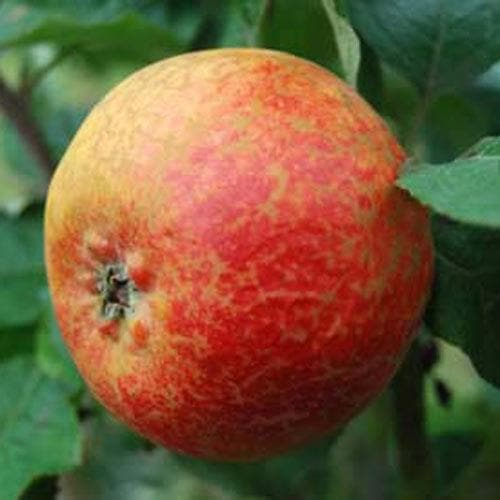 Apple Scarlet Crofton - Future Forests