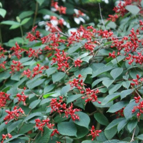 Viburnum plicatum Dart's Red Robin - Future Forests