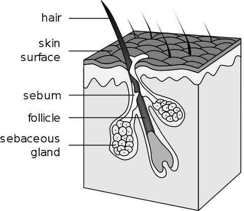 Hair Follicle Wikimedia