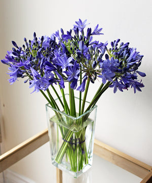 Isles of Scilly Agapanthus