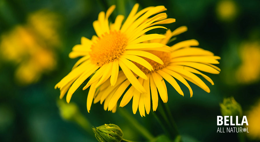Blooming Arnica Plants