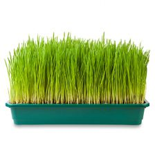 Organic Wheatgrass Tray, LOCAL!