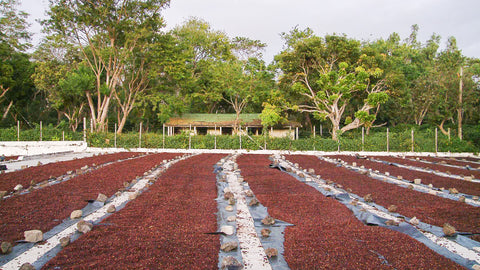 Natural Processing of Coffee