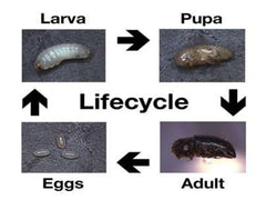 Berry Borer Life Cycle