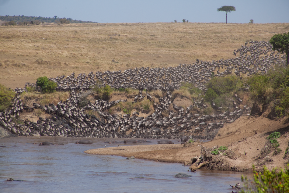 Wildebeest crossing the Mara river on migration