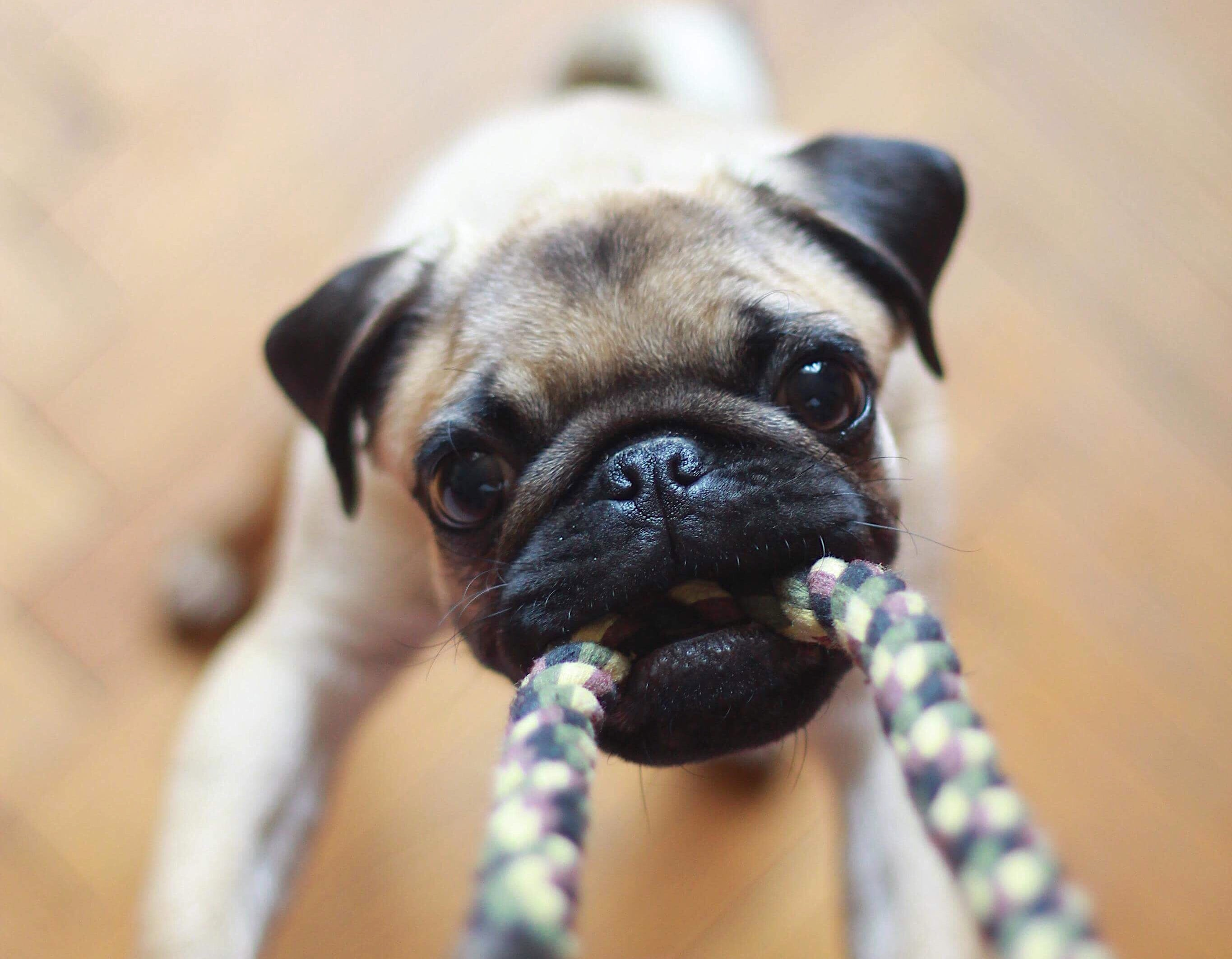 Stop Dog Destructive Chewing