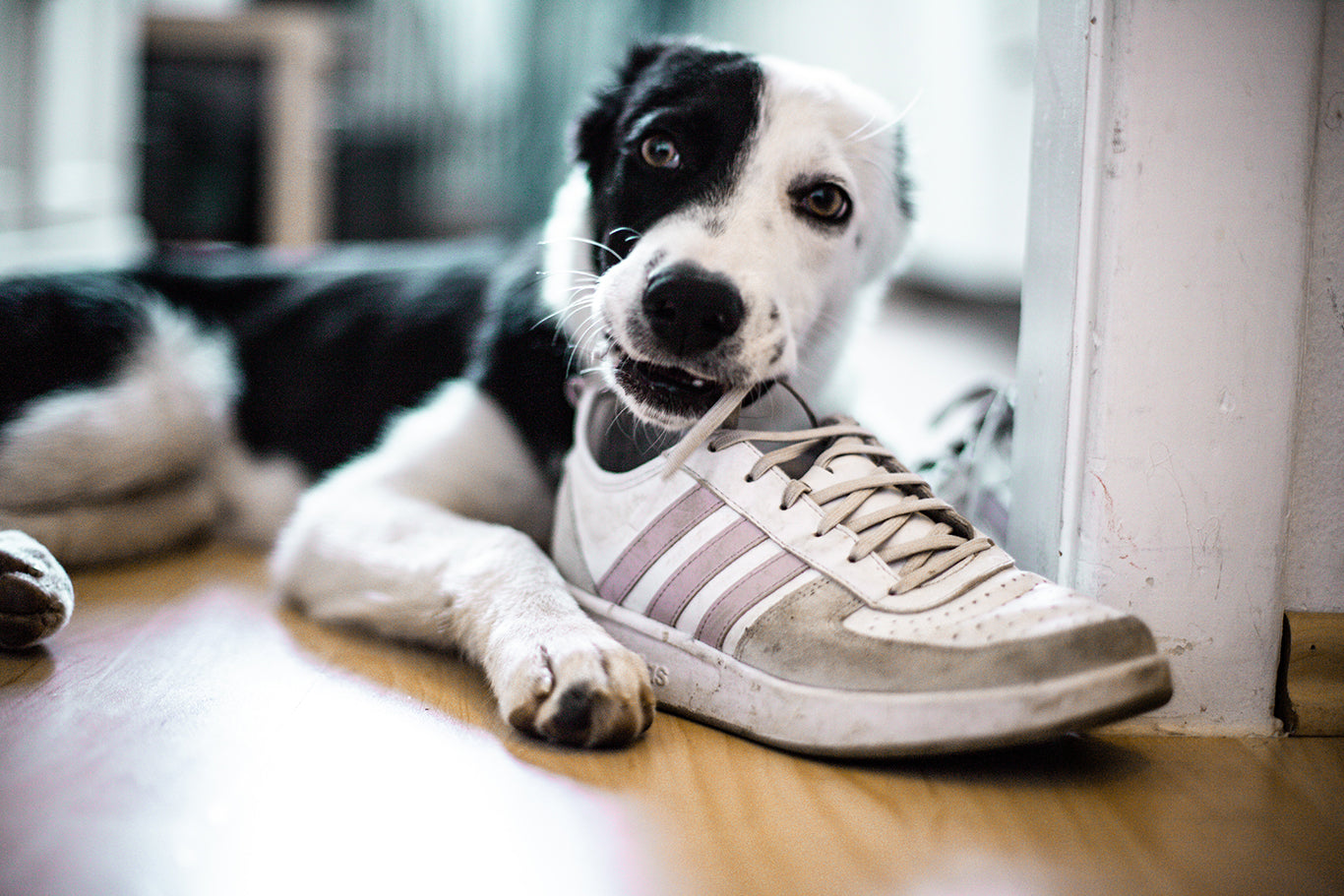 Stop Destructive Chewing - Dog Chewing Shoe