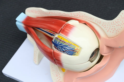Anatomical Human Eye with Orbit Model