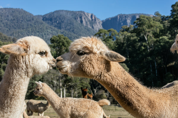 Two alpacas in front of Mt Buffalo