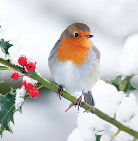 Robin in the Snow Christmas Cards - Pack of 10