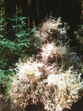 The Sacred Order of the Albino Redwood Tree Patch