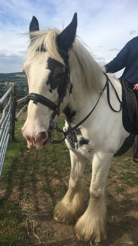 Badger the Irish cob and Shire horse riding